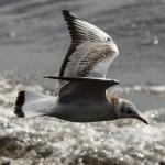 seagull over Ölands södra udde