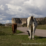 cows in front of Borgholms Slott