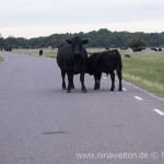 cows on the street of Öland, Sweden